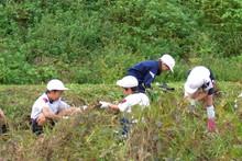 南中山小学校の子供達が大豆の収穫をしました_e0061225_9175335.jpg