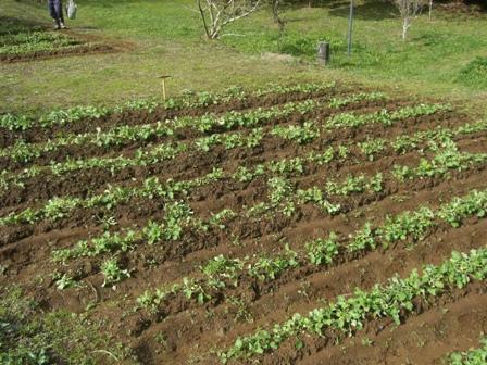 菜の花エコプロジェクト-間引き-_a0123836_16144633.jpg