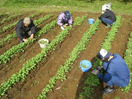 菜の花エコプロジェクト-間引き-_a0123836_1665084.jpg