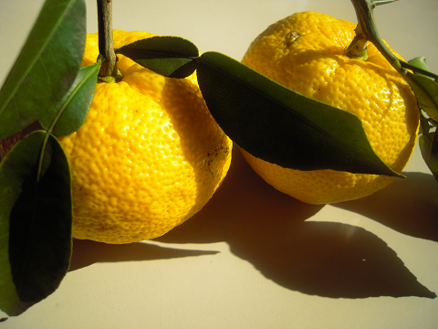 柚子、収穫!_b0050651_1014252.jpg