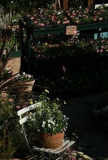 朝の光をあびてうれしそうなアナーセンの花たち_b0137969_18215.jpg