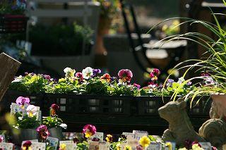 朝の光をあびてうれしそうなアナーセンの花たち_b0137969_1823413.jpg