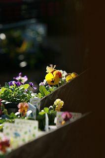 朝の光をあびてうれしそうなアナーセンの花たち_b0137969_182457.jpg