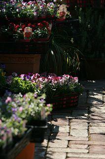 朝の光をあびてうれしそうなアナーセンの花たち_b0137969_1825437.jpg