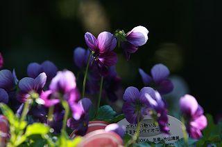 朝の光をあびてうれしそうなアナーセンの花たち_b0137969_1832092.jpg