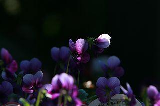 朝の光をあびてうれしそうなアナーセンの花たち_b0137969_183397.jpg