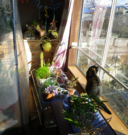 猫部屋、冬バージョンの準備中^^ (植物の冬越し)_a0136293_16435274.jpg