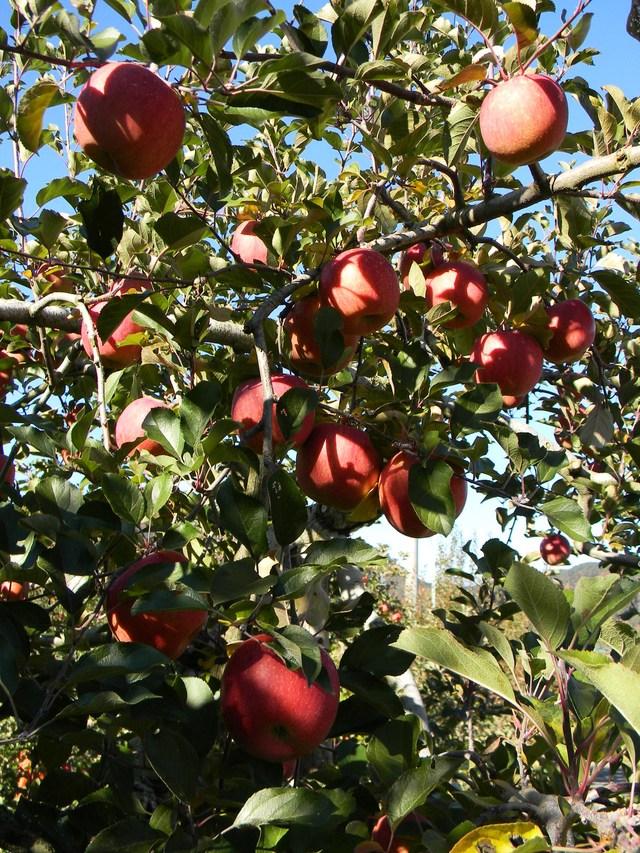 リンゴ農園_c0213220_22345630.jpg
