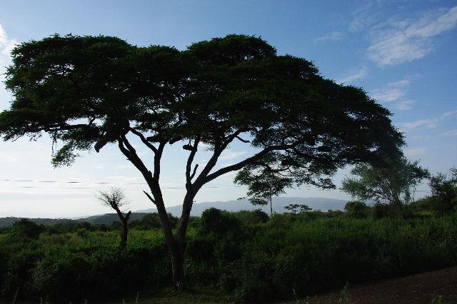 エチオピア(24) アカシアの樹と蜂蜜_c0011649_0212251.jpg