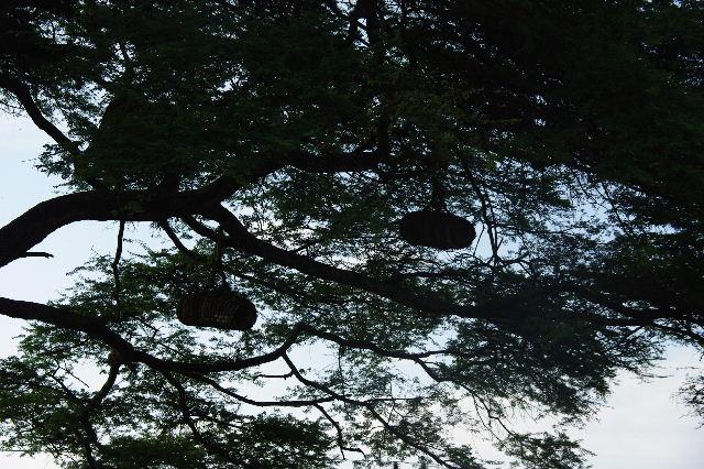 エチオピア(24) アカシアの樹と蜂蜜_c0011649_0231980.jpg