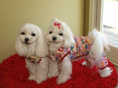 札幌犬の洋服★みるく★の撮影とカリの可愛い親戚さん_b0001465_15523413.jpg