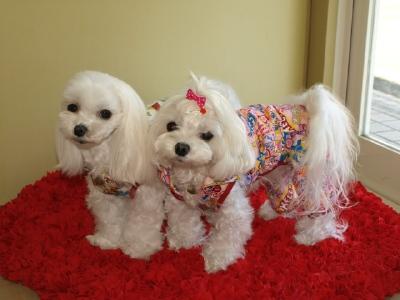 札幌犬の洋服★みるく★の撮影とカリの可愛い親戚さん_b0001465_1553220.jpg