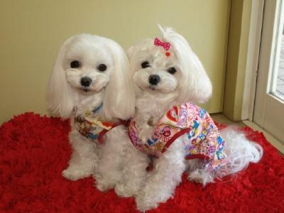 札幌犬の洋服★みるく★の撮影とカリの可愛い親戚さん_b0001465_15534223.jpg
