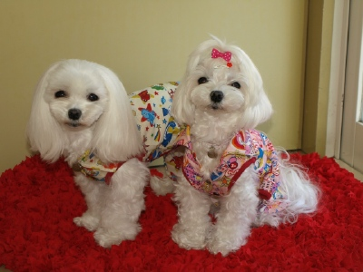 札幌犬の洋服★みるく★の撮影とカリの可愛い親戚さん_b0001465_1554367.jpg