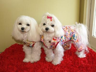 札幌犬の洋服★みるく★の撮影とカリの可愛い親戚さん_b0001465_15551818.jpg