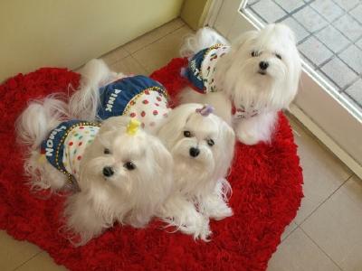 札幌犬の洋服★みるく★の撮影とカリの可愛い親戚さん_b0001465_15563363.jpg