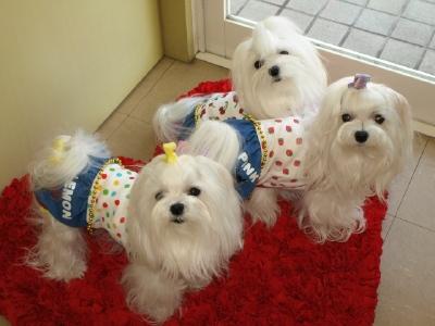 札幌犬の洋服★みるく★の撮影とカリの可愛い親戚さん_b0001465_1556359.jpg