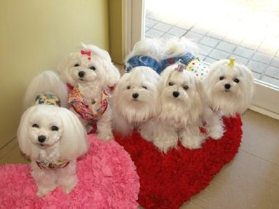 札幌犬の洋服★みるく★の撮影とカリの可愛い親戚さん_b0001465_15575237.jpg