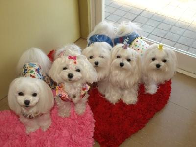 札幌犬の洋服★みるく★の撮影とカリの可愛い親戚さん_b0001465_15585044.jpg