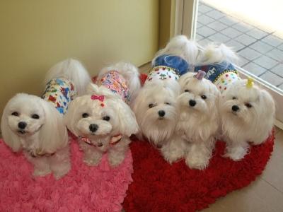 札幌犬の洋服★みるく★の撮影とカリの可愛い親戚さん_b0001465_15593570.jpg