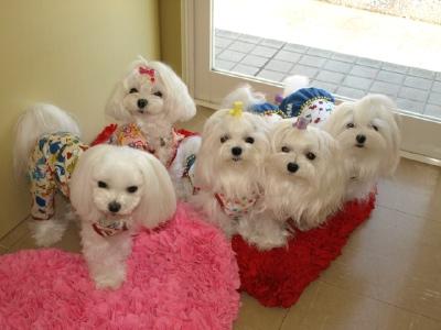 札幌犬の洋服★みるく★の撮影とカリの可愛い親戚さん_b0001465_1602876.jpg