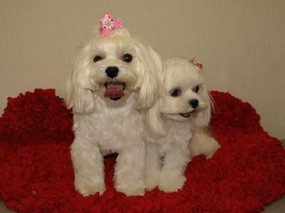 札幌犬の洋服★みるく★の撮影とカリの可愛い親戚さん_b0001465_16104529.jpg