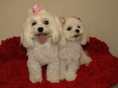 札幌犬の洋服★みるく★の撮影とカリの可愛い親戚さん_b0001465_16111944.jpg