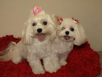 札幌犬の洋服★みるく★の撮影とカリの可愛い親戚さん_b0001465_16122565.jpg