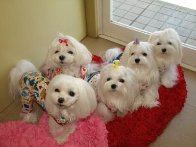 札幌犬の洋服★みるく★の撮影とカリの可愛い親戚さん_b0001465_161372.jpg