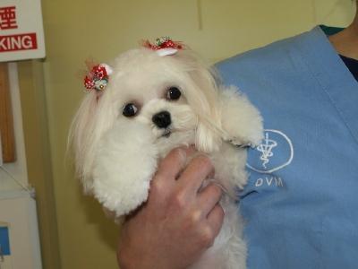 札幌犬の洋服★みるく★の撮影とカリの可愛い親戚さん_b0001465_16144612.jpg
