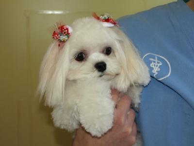 札幌犬の洋服★みるく★の撮影とカリの可愛い親戚さん_b0001465_1614932.jpg