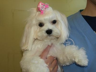 札幌犬の洋服★みるく★の撮影とカリの可愛い親戚さん_b0001465_16163951.jpg