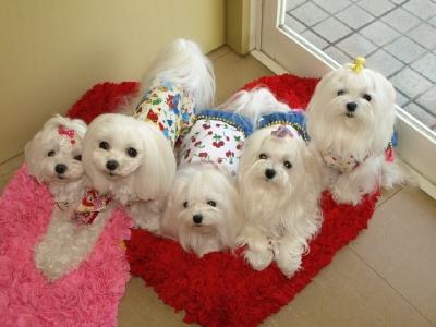 札幌犬の洋服★みるく★の撮影とカリの可愛い親戚さん_b0001465_1625872.jpg