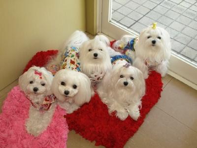 札幌犬の洋服★みるく★の撮影とカリの可愛い親戚さん_b0001465_1633211.jpg
