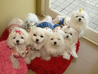 札幌犬の洋服★みるく★の撮影とカリの可愛い親戚さん_b0001465_164229.jpg
