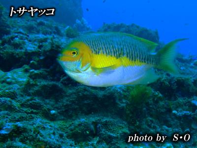 Divehouse Kanaloa  八丈島 ダイビングログ_b0189640_22574223.jpg