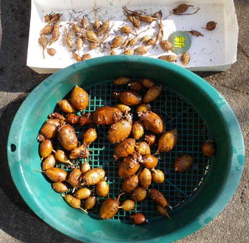 アピオスの収穫と・・・食べてみました(^^)_a0136293_159539.jpg