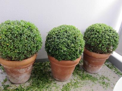 11月某日 ベランダの植木の剪定_b0122805_1885195.jpg