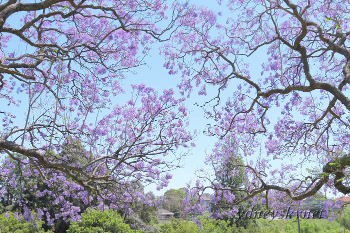 Jacaranda in Blue Part4_f0084337_13252296.jpg