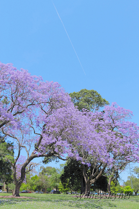 Jacaranda in Blue Part4_f0084337_1325784.jpg