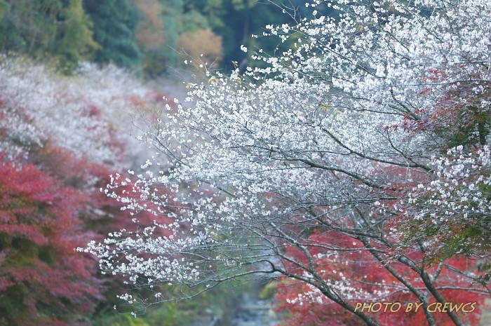 桜&紅葉のコラボレーション_e0056449_18515190.jpg