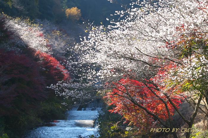 桜&紅葉のコラボレーション_e0056449_18521652.jpg