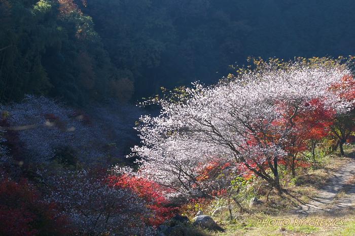 桜&紅葉のコラボレーション_e0056449_18524133.jpg