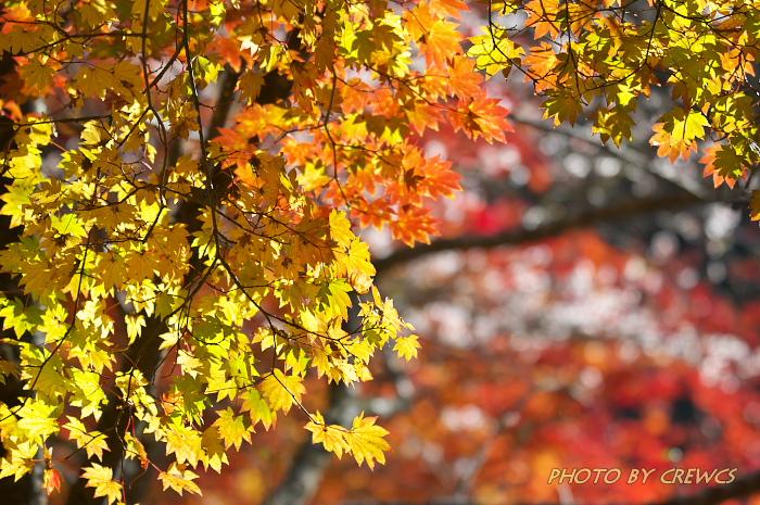 桜&紅葉のコラボレーション_e0056449_18542097.jpg