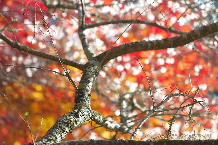 桜&紅葉のコラボレーション_e0056449_18543430.jpg