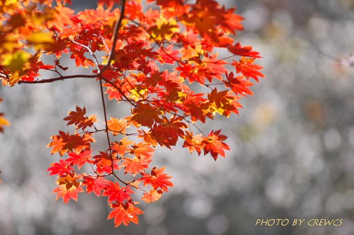 桜&紅葉のコラボレーション_e0056449_18544549.jpg