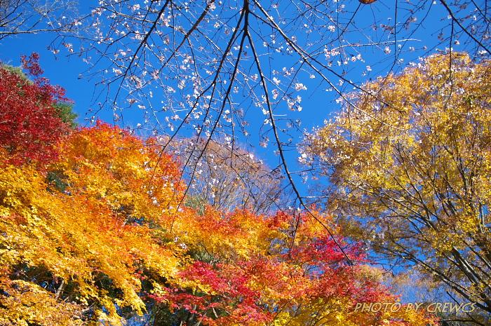 桜&紅葉のコラボレーション_e0056449_185457.jpg