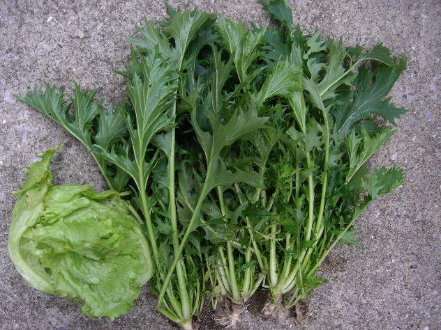 水菜を収穫しました。_c0053863_17273165.jpg
