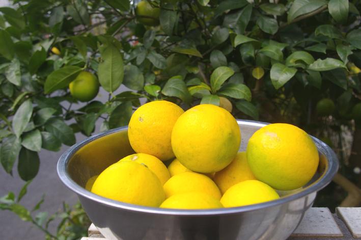 自宅の庭のレモンを初収穫、ハチミツレモンに(10・11・21)_c0014967_9475571.jpg