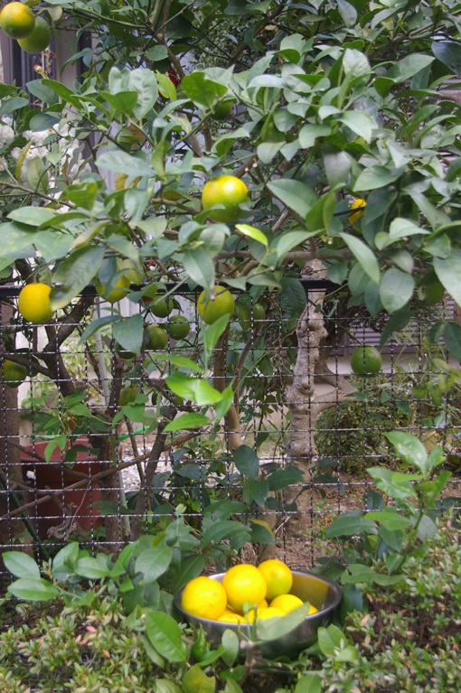 自宅の庭のレモンを初収穫、ハチミツレモンに(10・11・21)_c0014967_9525910.jpg